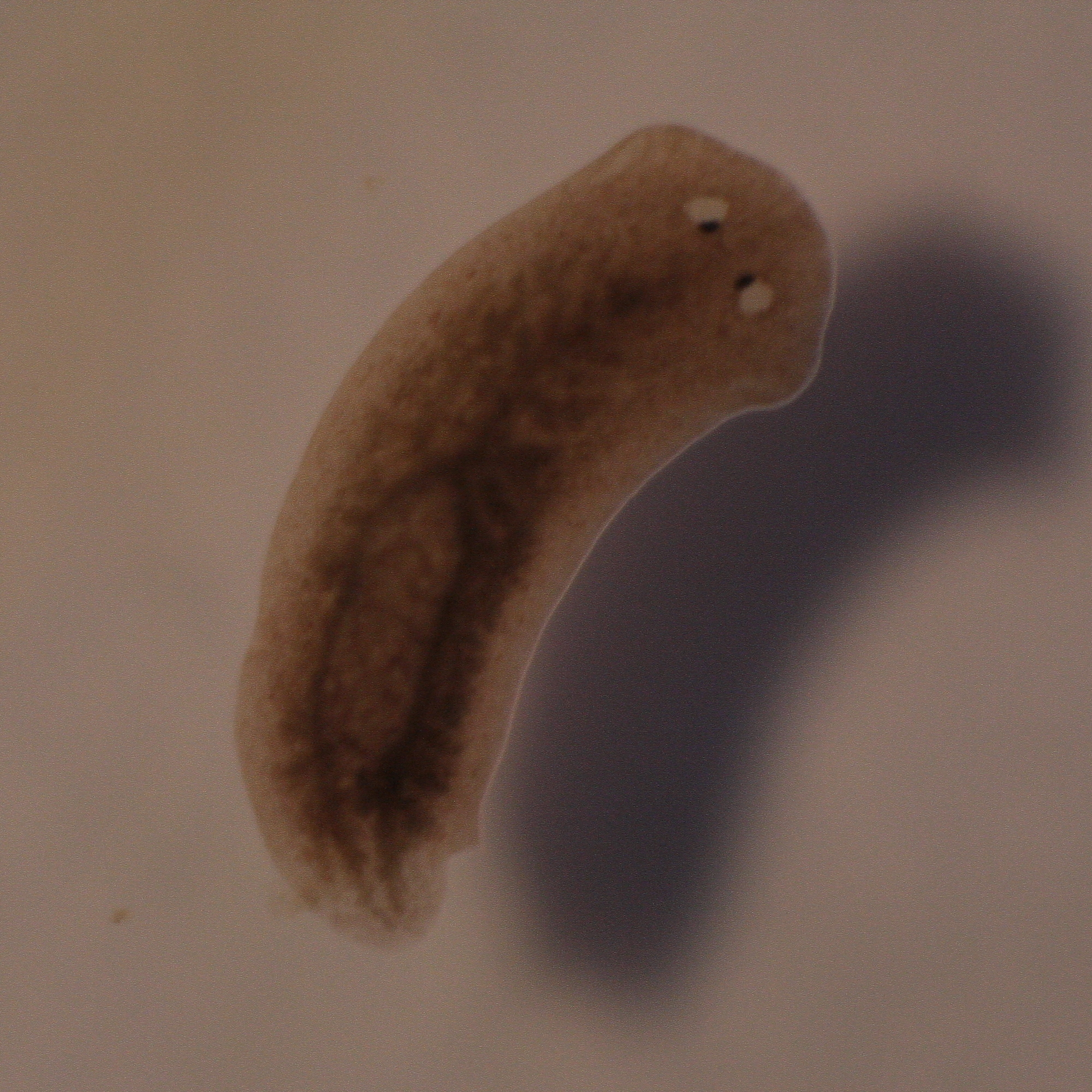 Unspecified planarian
